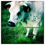 Cow.jpg - Normandie